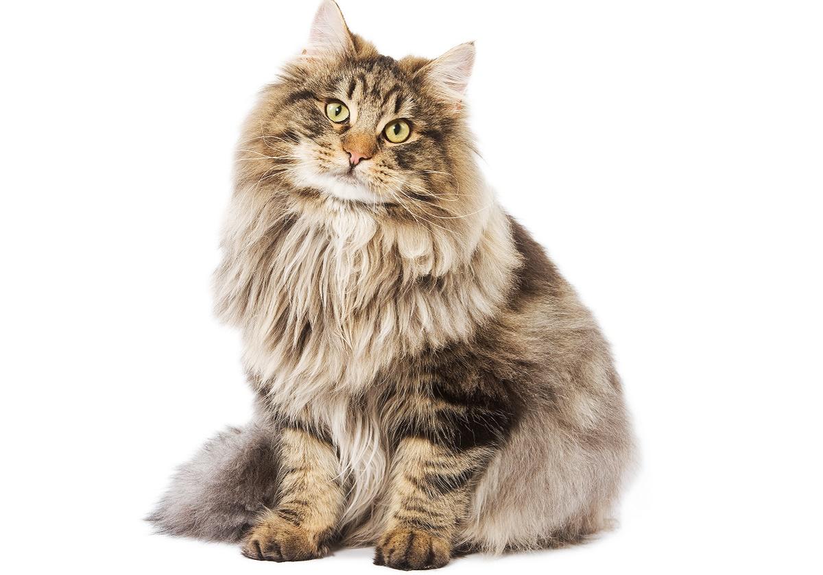 gatto norvegese sfondo bianco