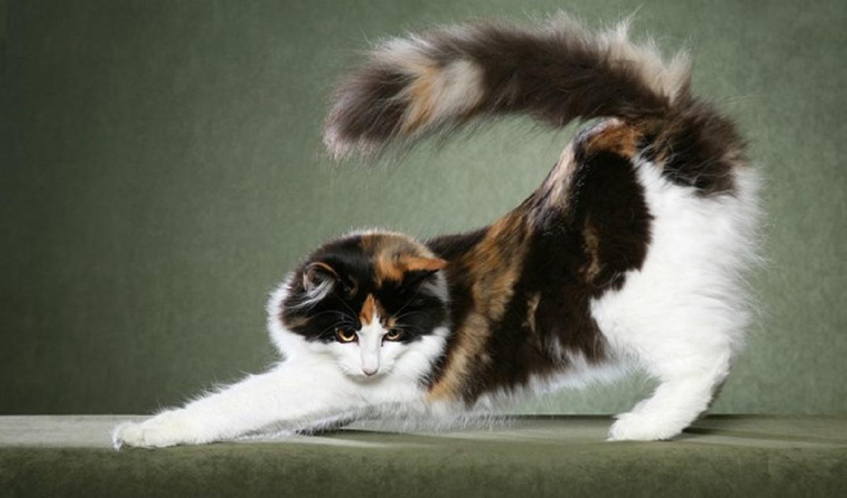 gatto norvegese si stiracchia