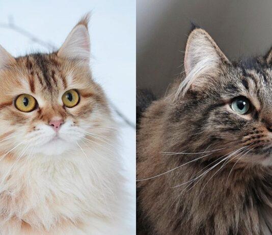 gatto siberiano e gatto norvegese