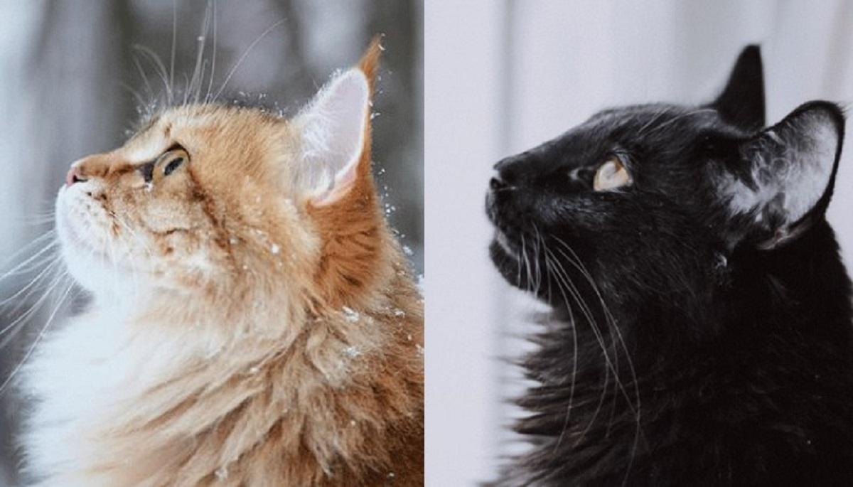 profilo gatto siberiano vs norvegese