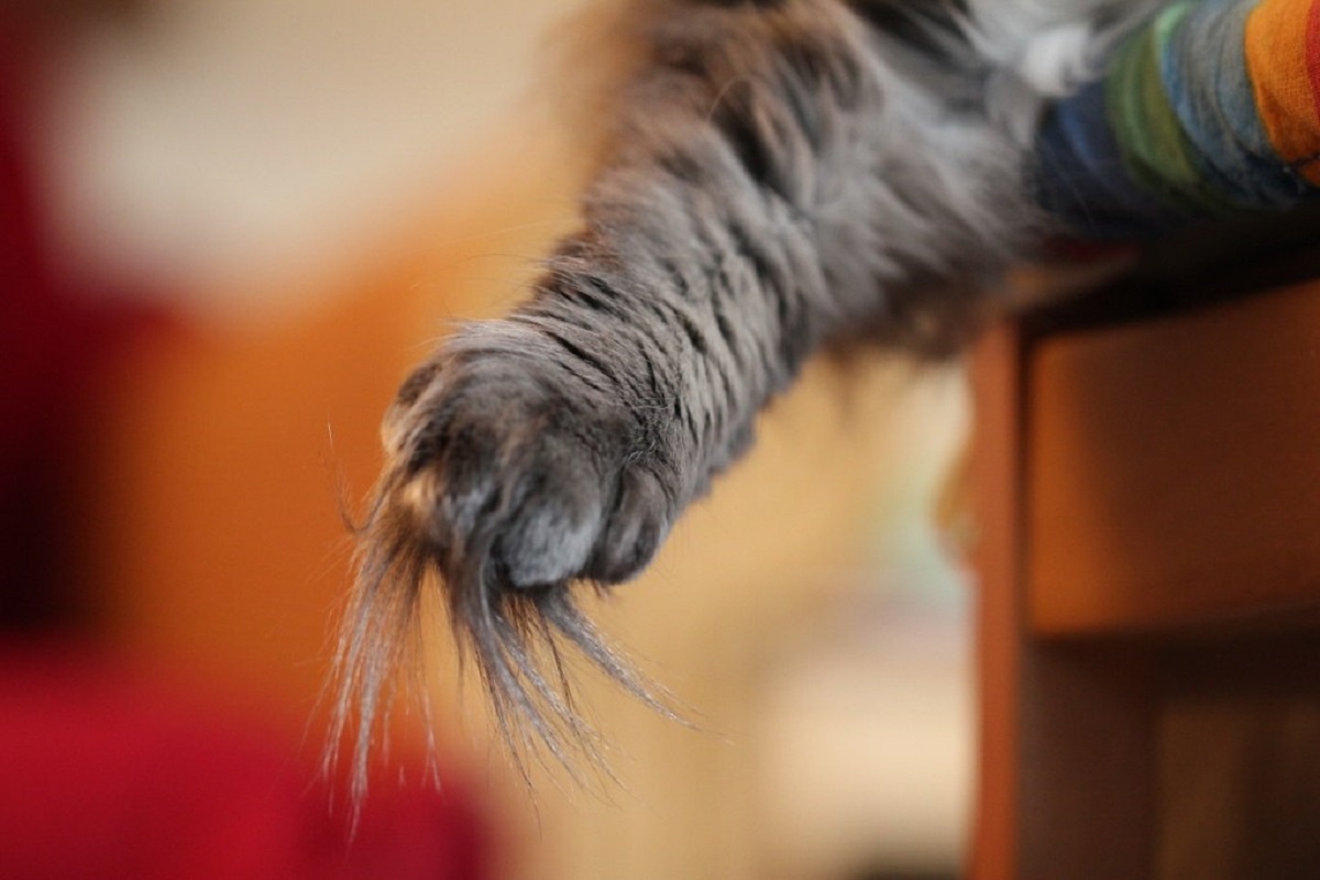 gatto norvegese zampa