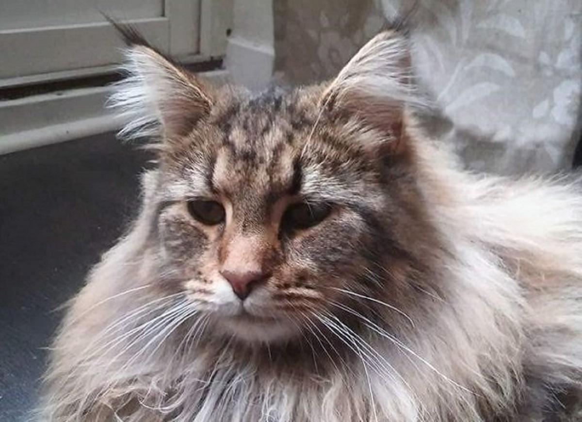 gatto norvegese primo piano