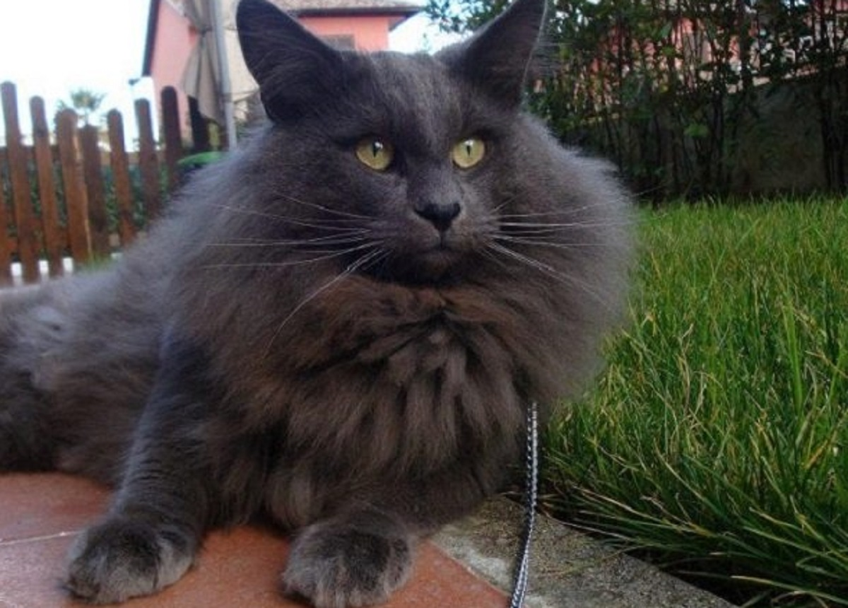 gatto norvegese in giardino