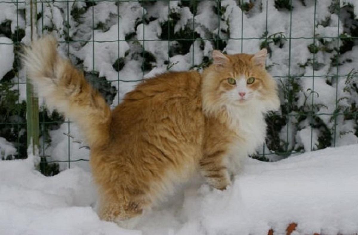 gatto norvegese sulla neve