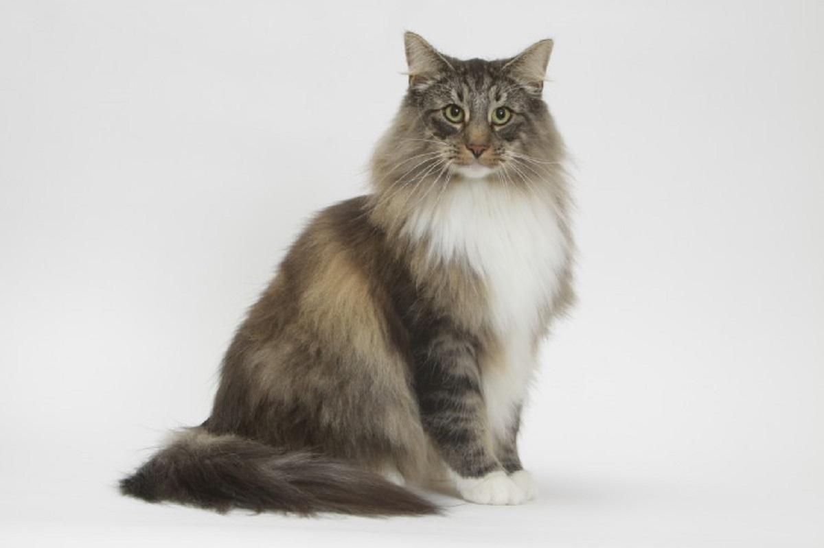 gatto norvegese sfondo chiaro