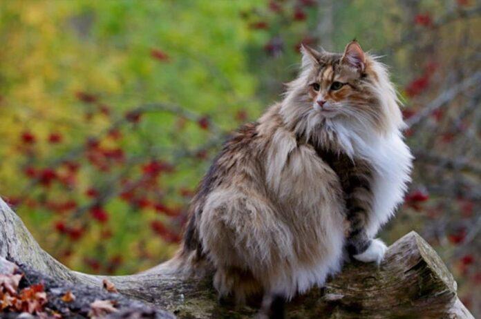 gatto norvegese su albero