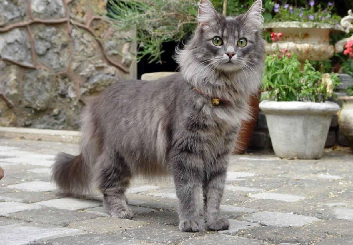 gatto norvegese in estate