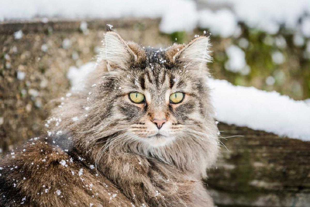 gatto norvegese con neve sul pelo