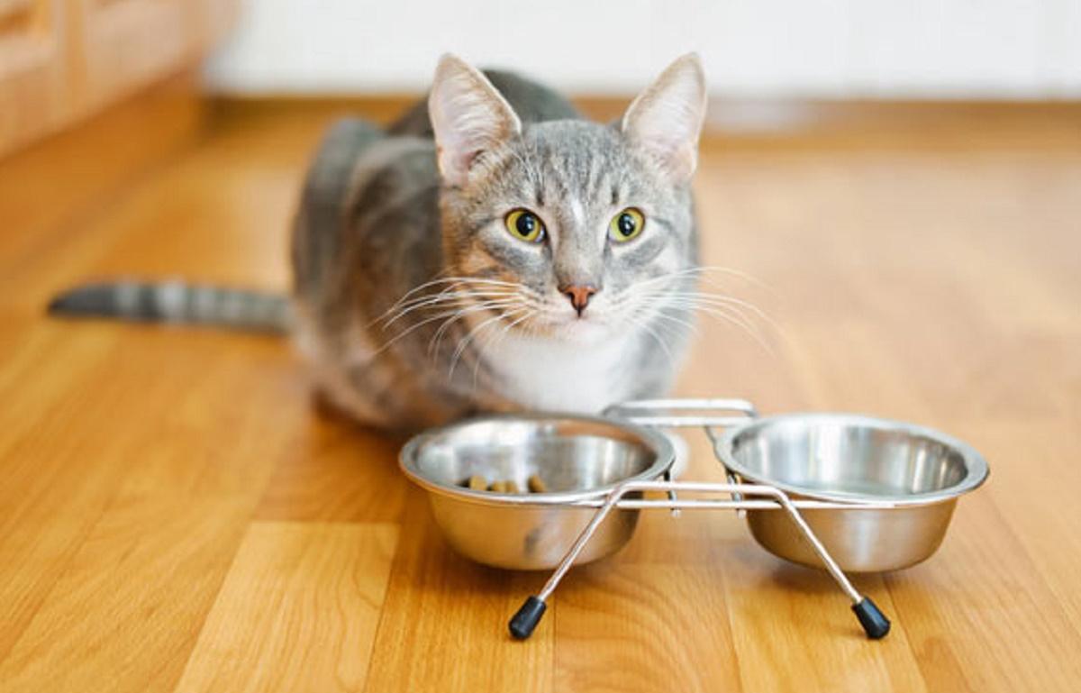 gatto con ciotole di cibo