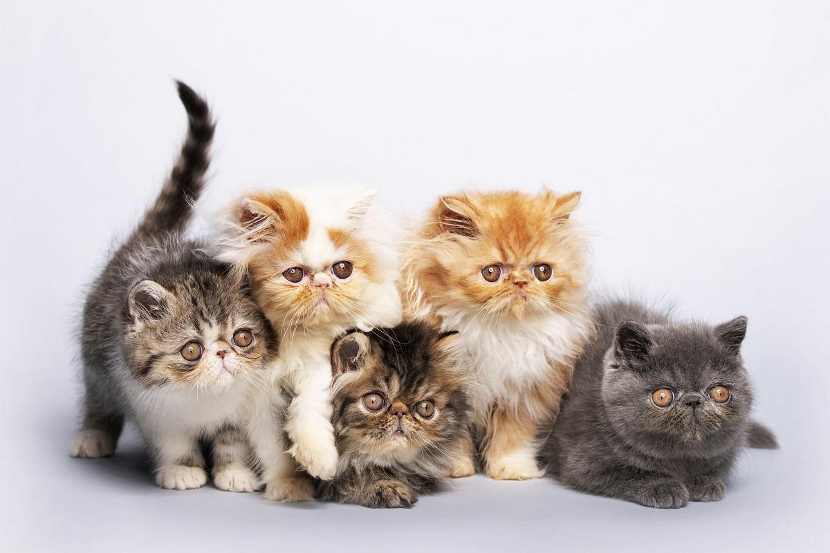 cinque cuccioli di gatto persiano