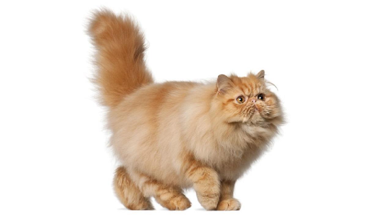 gatto persiano sfondo bianco