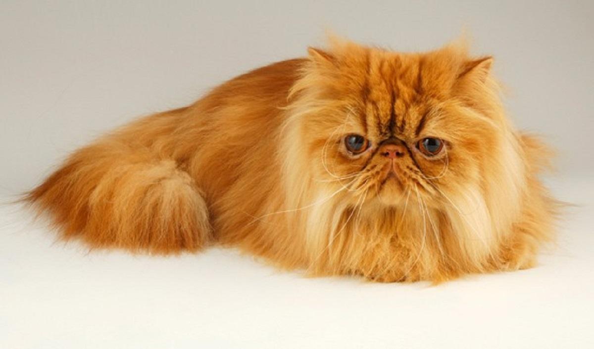 gatto persiano sfondo chiaro