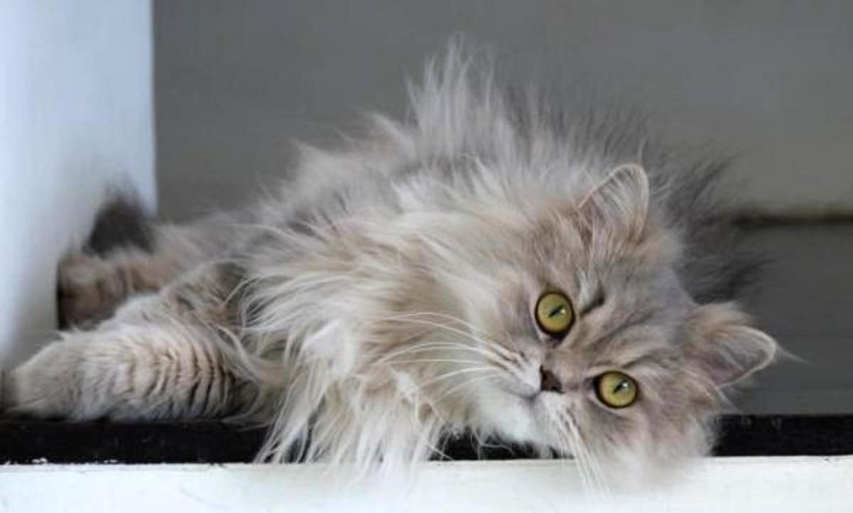 persiano dollface grigio