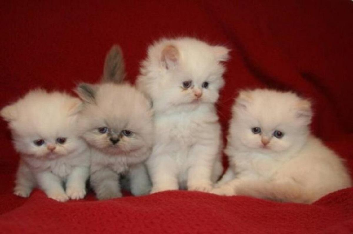 cuccioli di gatto persiano teacup