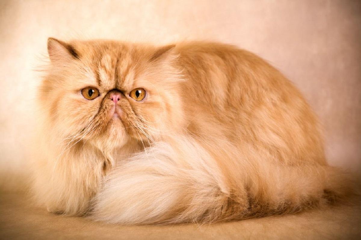 gatto persiano peke-face