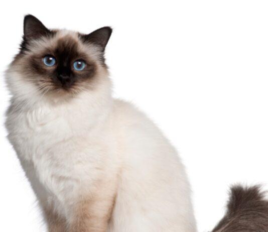 gatto birmano sfondo bianco
