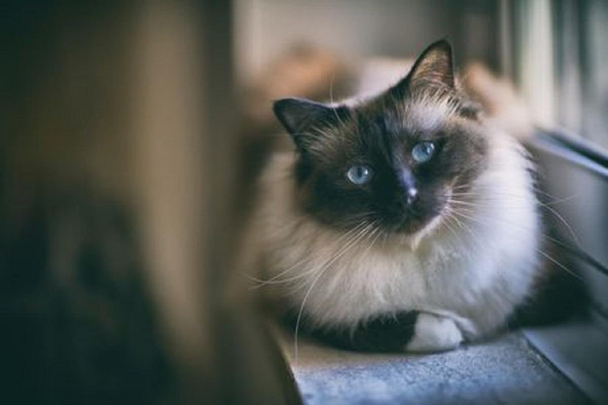 gatto birmano su finestra