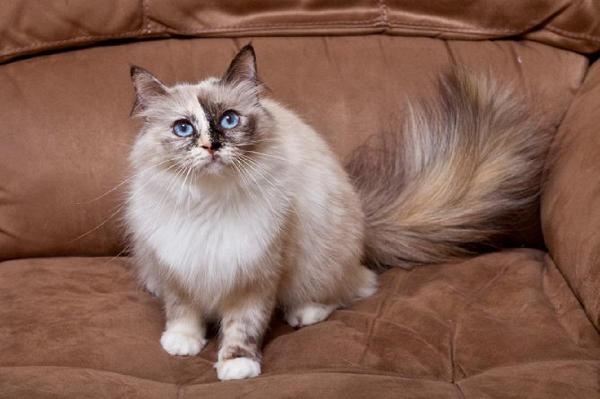 gatto birmano su divano