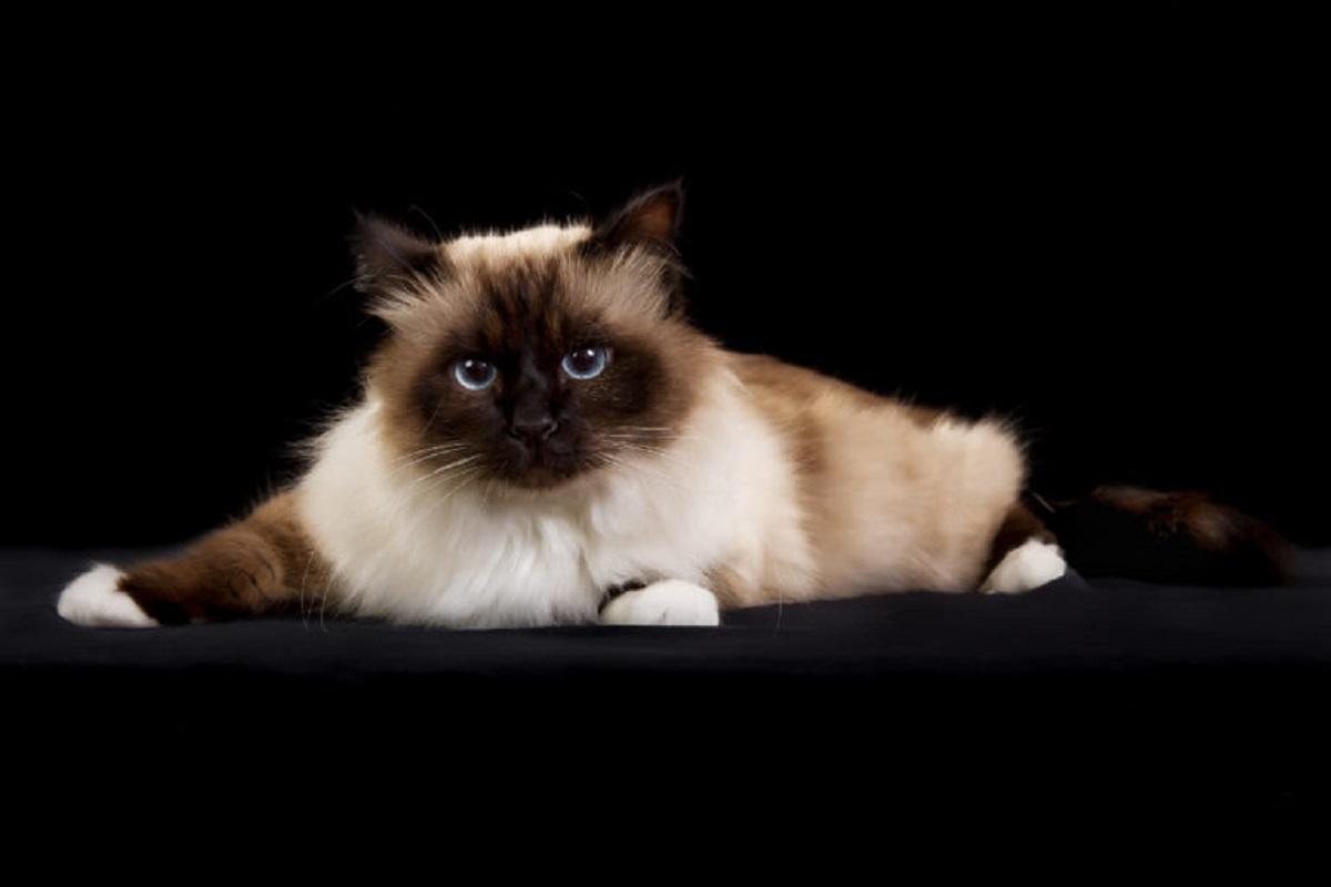 gatto birmano sfondo nero