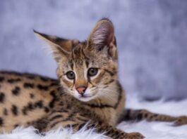 gatto savannah su coperta