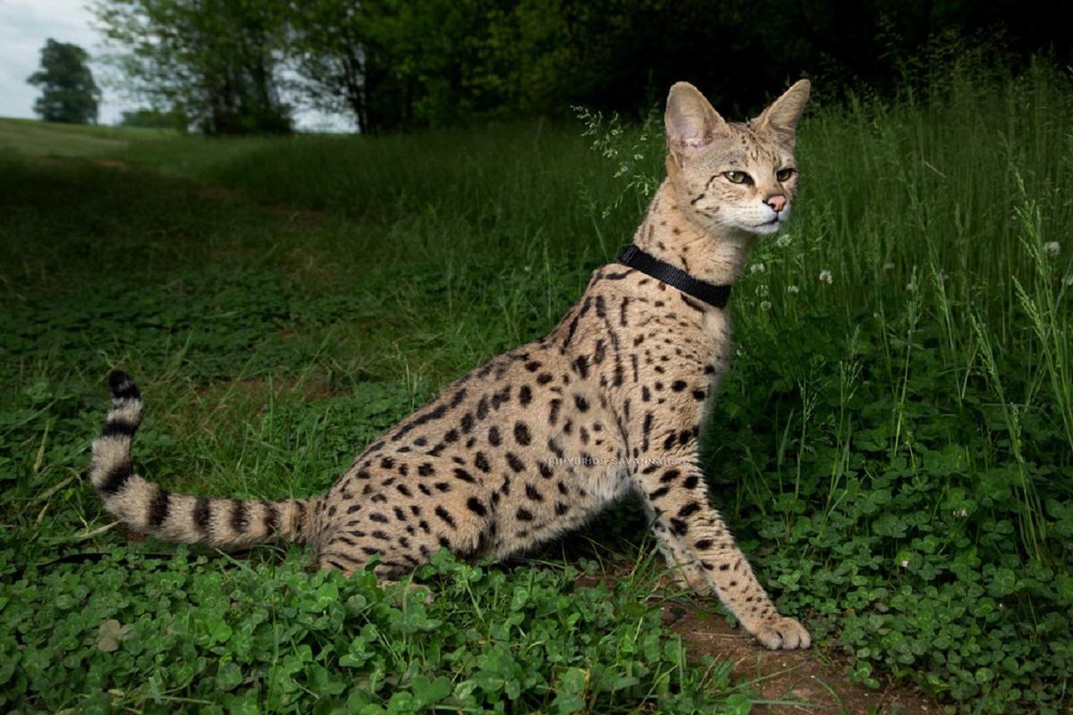 gatto savannah in giardino
