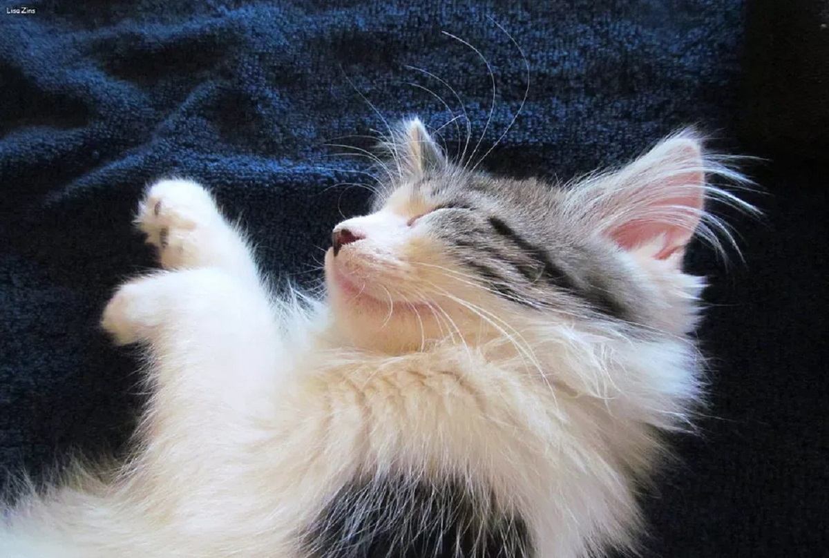 maine coon che dorme
