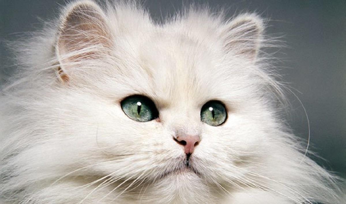 gatto persiano primo piano