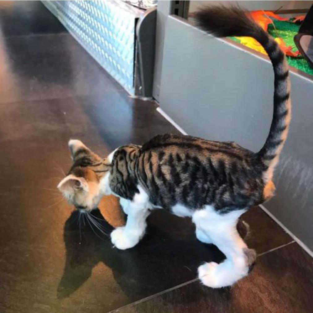 Gattino che soffre di polidattilia