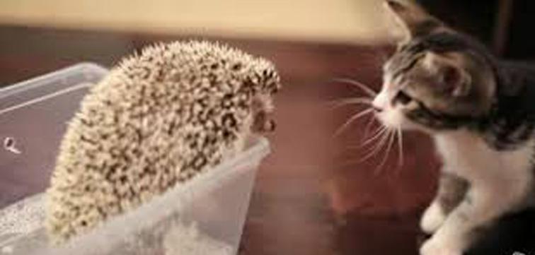 Gattino con riccio