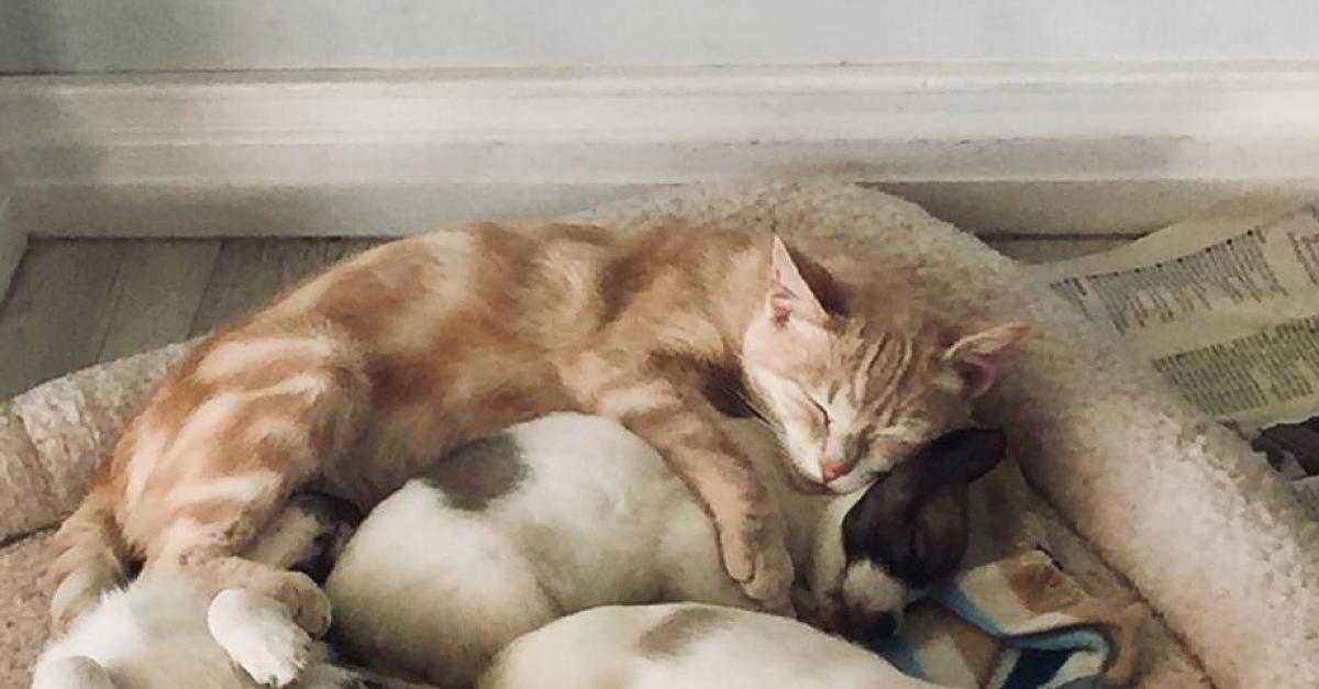Gatto che dorme con dei cani