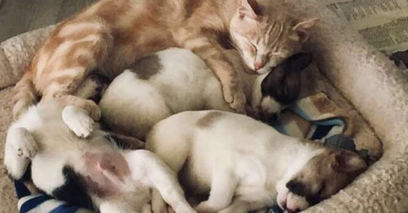 Gatto che dorme con dei cuccioli di cane