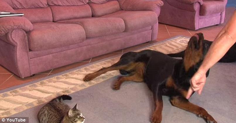 Gatto con due Rottweilers