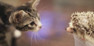Gatto con un riccio