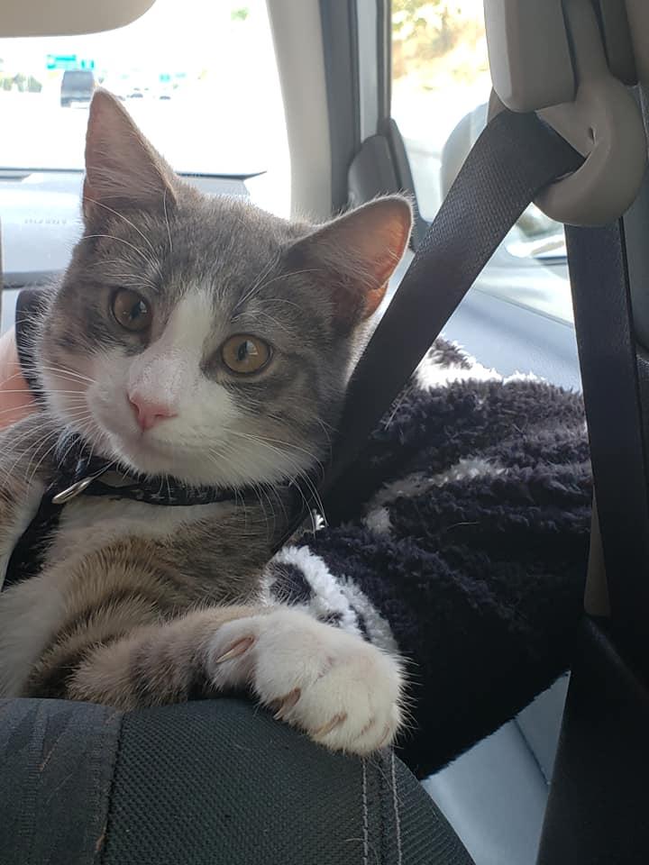 Gatto in una macchina