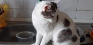 Il-gatto-Blanco