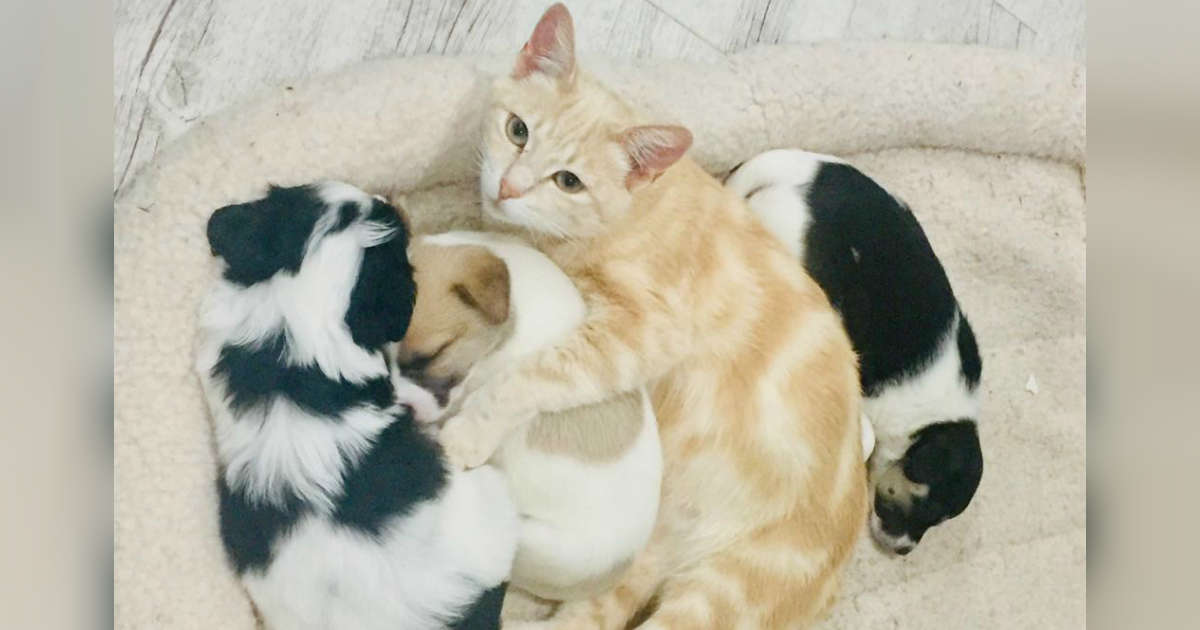 Il gatto Kathryn con cuccioli di cane