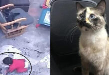 Il-gatto-che-ha-salvato-un-bambino