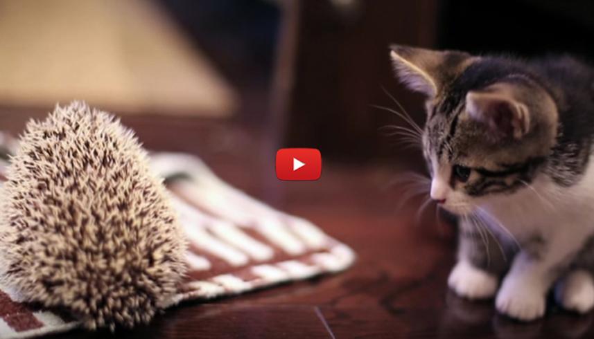L'incontro di un gattino con un riccio