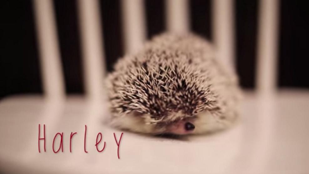 Riccio Harley