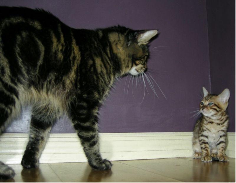 Gatto adulto geloso del gattino