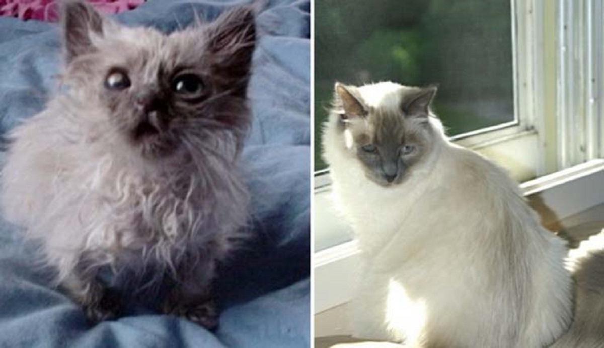 gatto siamese adottato