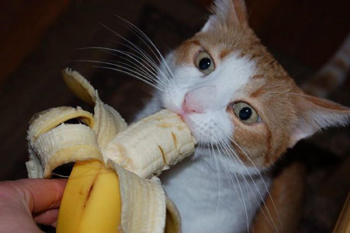 gatto mangia banana
