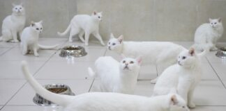gatti angora turco bianchi