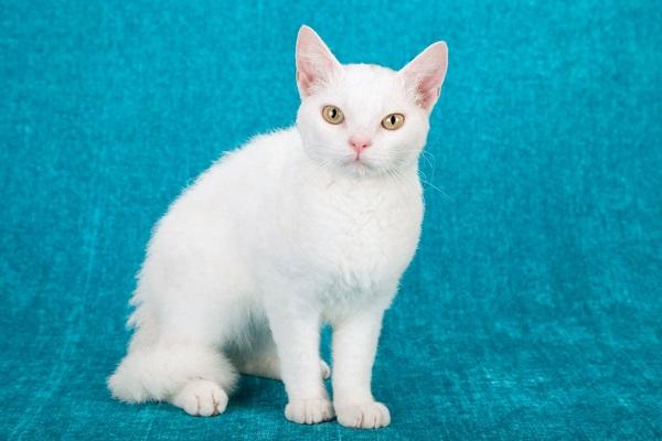 l'american wirehair gatto bianco