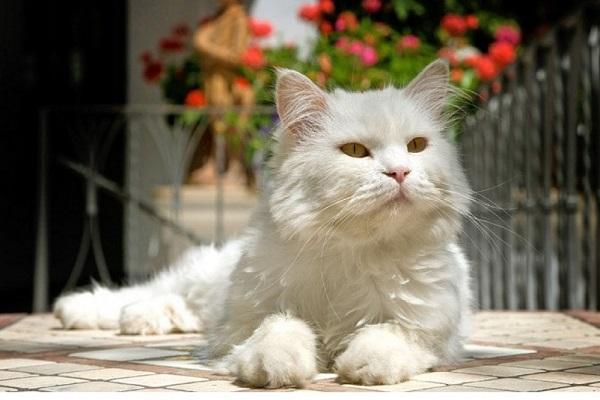 gatto bianco con pelo lungo