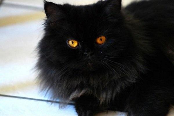 gatt persiano nero