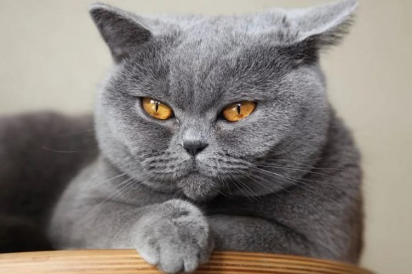 gatto solido british shorthair