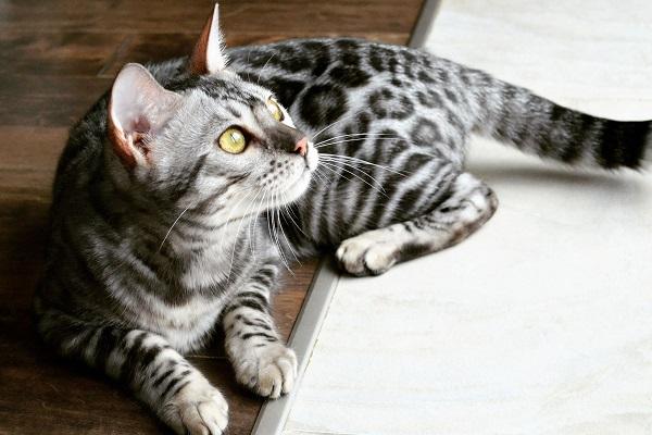 gatto del bengala silver