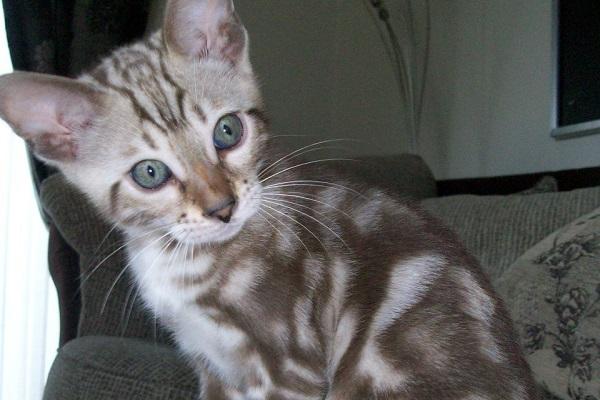 gatto del bengala striato