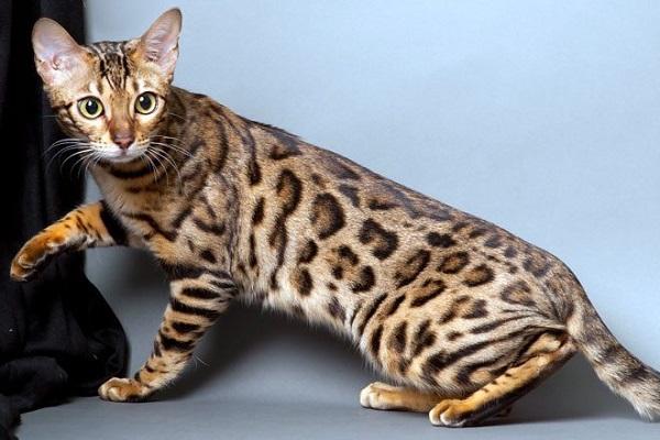 gatto del bengala maculato
